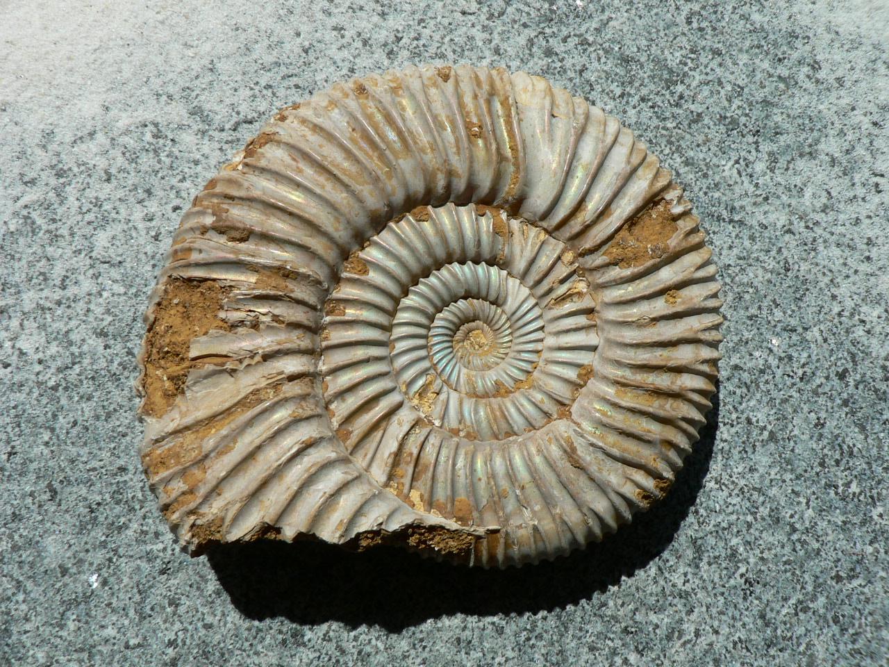 amm075 gro er ammonit perisphinctes madagaskar 220 gr wandelbars steinewelt. Black Bedroom Furniture Sets. Home Design Ideas